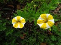 フラワーパーク江南で、レモンスライス♪ - 花追い日記