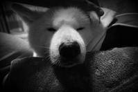 真夜中の仲直り - 秋田犬「大和と飛鳥丸」の日々Ⅱ