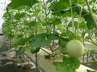 水耕メロンです 秋 ~もうすぐネットがはいります - ◇◇◇ tomatorose  ~ トマトローゼ ◇◇◇