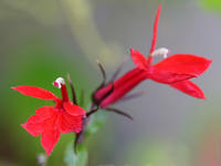 ★…【8月の花】-紅花サワキキョウ  -  ★ 野草デジカメ日記★