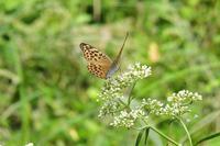 ■ミドリヒョウモン17.9.22 - 舞岡公園の自然2