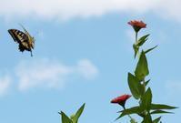 チョウはなぜヒラヒラと飛ぶか - 丹馬のきょうの1枚