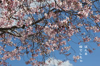 桜咲く - Tangled with・・・・・