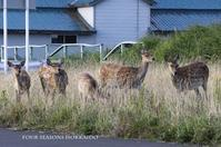 稚内のエゾシカ - ekkoの --- four seasons --- 北海道