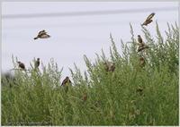 カワラヒワ 皆と一緒に - 野鳥の素顔 <野鳥と・・・他、日々の出来事>