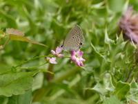 クロマダラソテツシジミ   徳島の旅 - 蝶のいる風景blog