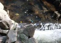 素敵な川のカワセミさん(*^^*) - インパクトブルー