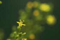 オミナエシ~咲き始め~ - 心の色~光生写真館~