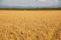 秋の実り、稲刈り始まりました。 - x1倶楽部