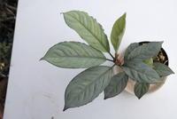 Aglaonema nebulosum 'Apple-leaf' - PlantsCade -2nd effort