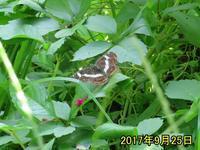 まだ、サカハチチョウ - 秩父の蝶