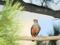 イソヒヨドリ♂ - TACOSの野鳥日記