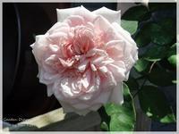 Souvenir de la Malmaison - Gardener*s Diary