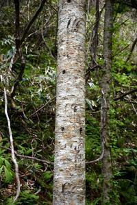 エゾヒグマの木登り跡 - こんなものを見た2