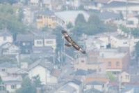 bird*93  ハチクマ - primary feather