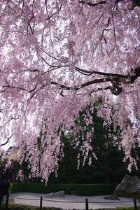 妙心寺 退蔵院 桜 - 京都デジカメ散歩