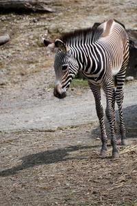 シマシマ模様にハートマーク - 動物園でお散歩