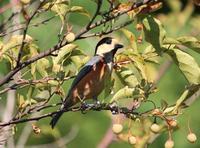 今日の鳥さん170925 - 万願寺通信