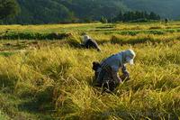 稲刈り - デジタルで見ていた風景
