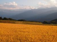 黄金色 - 八ヶ岳 革 ときどき くるみ