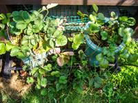 イチゴの子苗取り&実生さがほのか 5ヶ月目 - にゃんてワンダホー!