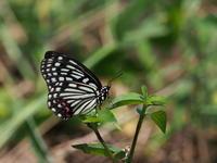 菅生沼で観察したチョウとトンボ - コーヒー党の野鳥と自然 パート2