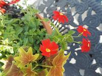 秋の寄せ植え - グリママの花日記