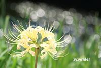 流れを彩るヒガンバナ(その4) - ジージーライダーの自然彩彩