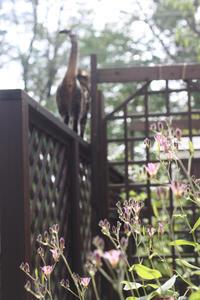 ホトトギスとルリタテハの幼虫 - 小さな森のキキとサラ