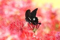 アゲハチョウがいっぱい - 風に揺られて