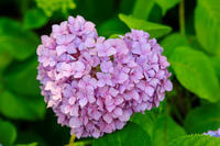 智積院・紫陽花の頃 - 花景色-K.W.C. PhotoBlog