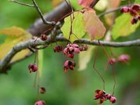 9月 ・ ツリバナ(吊花) - 野に咲く北国の花