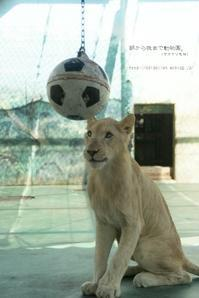 獅子もきっちり座ります。 - 朝から晩まで動物園。(サファリもね)
