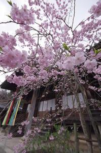 山崎聖天 桜 - 京都デジカメ散歩