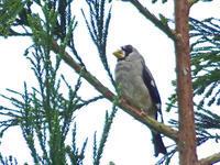 イカルに出会った - barbersanの野鳥観察