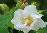 あでやかに咲く、しっとりと咲く。 - イーハトーブ・ガーデン
