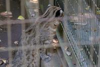 ツシマヤマネコのいっちゃん - 動物園に嵌り中