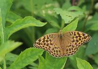高原のヒョウモンチョウたちミドリヒョウモン編 - 公園昆虫記