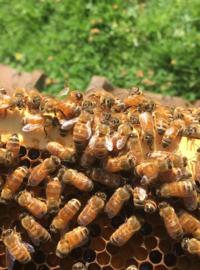 毎日緊張して養蜂をしています - みつばちとニュージーランドで暮らす PicoMiere