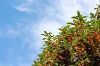 キンモクセイの強烈な香りの目的 - 丹馬のきょうの1枚