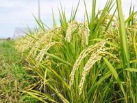 砂田米今年も順調に黄金色に色づき始め、稲穂が頭を垂れています!稲刈りは例年通り10月10日前後から!! - FLCパートナーズストア