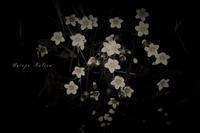 ウメバチソウ咲く - フォトな日々