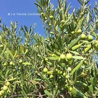 2017年、我が家のオリーブは豊作です♡~オリーブ農園日記 vol.27~ - 幸せなシチリアの食卓、時々にゃんこ