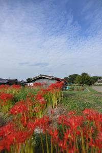 2017 0926 0927 加古川のお家に帰省 地元田んぼの彼岸花 - soyokaze3の日記