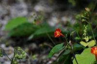 秋の野に艶めきたてる≪マルバルコウソウ≫ - そよ風のつぶやき