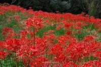 彼岸花の季節・・・ - autumngood digital photo blog