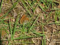 ウラギンヒョウモンの産卵 - 秩父の蝶