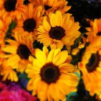 今年も「秋ひまわり」の季節です - 我蘭堂(ガーランド)バックヤードへようこそ!