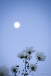 お月見コスモス - 笑顔同封
