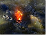 【い】池の鯉:いけのこい - ネコニ☆マタタビ
